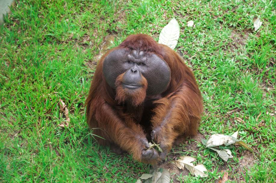 Aman- One of the rescued Orangutan in Matang Wildlife Centre