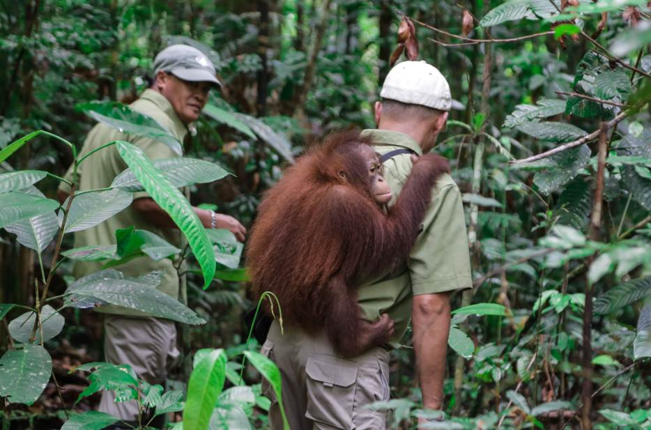 Workers at the Matang Wildlife Centre conducting the rescue works of the Orangutan